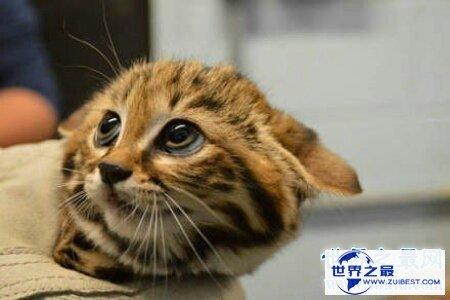 【图】黑足猫的头十分的小 然而攻击起来很凶猛 萌萌的