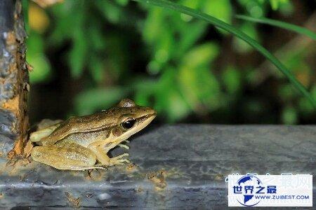 【图】沼水蛙是一种十分可恶而又风趣的国家保护动物
