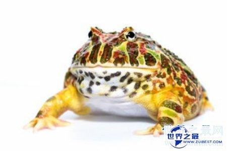 【图】角蛙饲养环境是怎么的呢 这种蛙还被称为宠物蛙