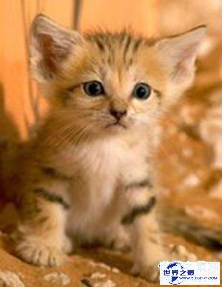 【图】超级可恶的巴基斯坦沙猫你有没有想养一只的冲