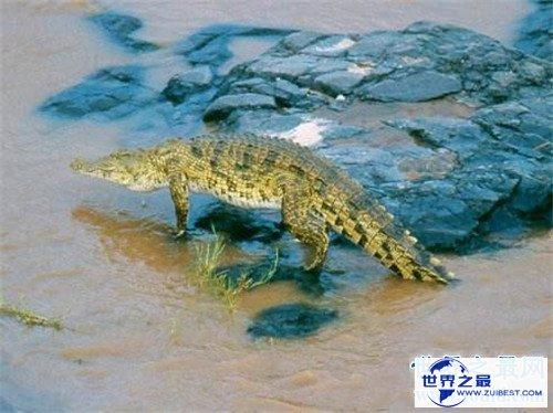 【图】非洲侏儒鳄的生存习性引见 现在多散布在非洲地