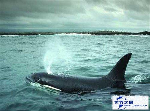 【图】鲸鱼的先人曾可能在海洋行走 现在退步四肢成海