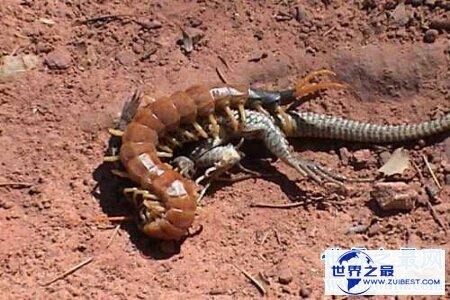 【图】世界上最大的蜈蚣有半米多长 这么长的蜈蚣你害