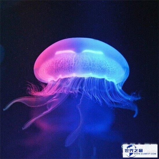 【图】灯塔水母竟然可能长生不死 除非它被其余生物吃