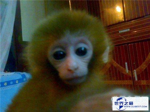 【图】日本袖珍石猴发情攻击饲养者 擅自购买饲养属于