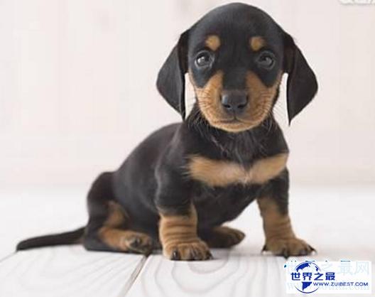 【图】世界最小狗,由于嘴巴太小无奈吃到母亲的乳汁