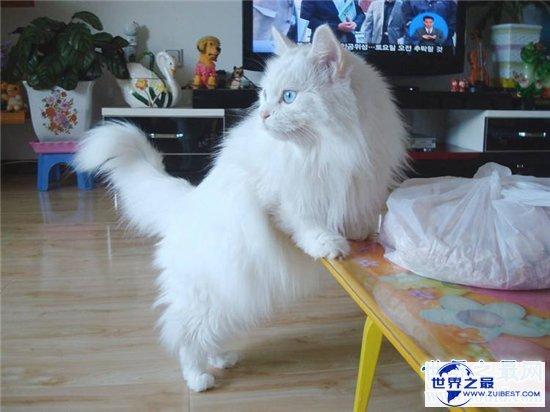 【图】土耳其安哥拉猫性格独立爱洁净 能在小溪或浴池