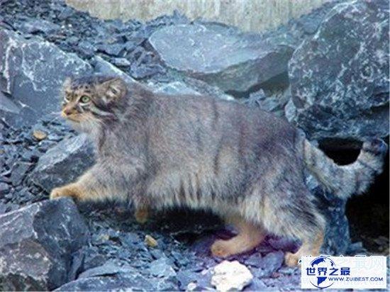 【图】动物界十大厉害野猫 眼神犀利让人感到害怕