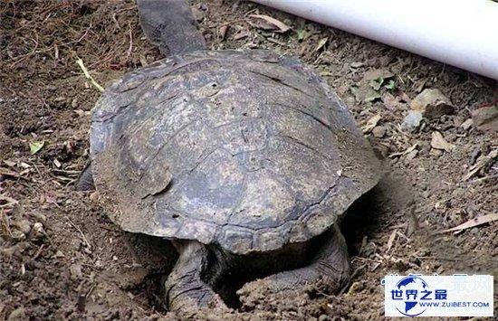 【图】巨蛇颈龟的四种饲养方法 只管长80厘米却只能活