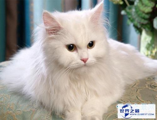 【图】世界上最陈旧的猫品种安哥拉猫 来源于16世纪的