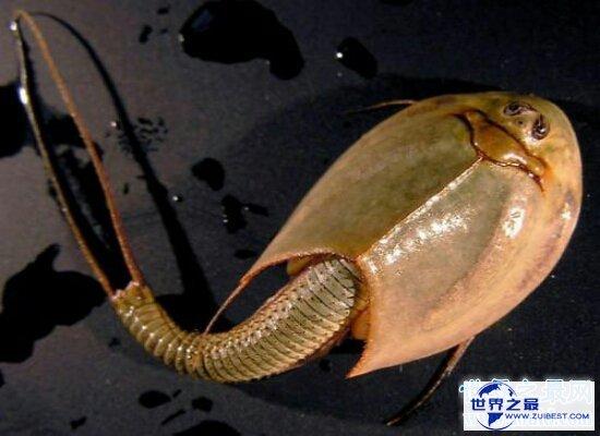 【图】三眼恐龙虾是世界的活化石 来源于悠远的恐龙时
