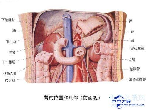 【图】人体器官散布图引见 五脏六腑的地位都在哪