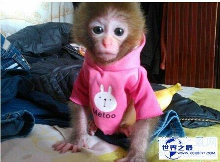 【图】你青睐什么样子的宠物猴呢 咱们一同来探讨一下