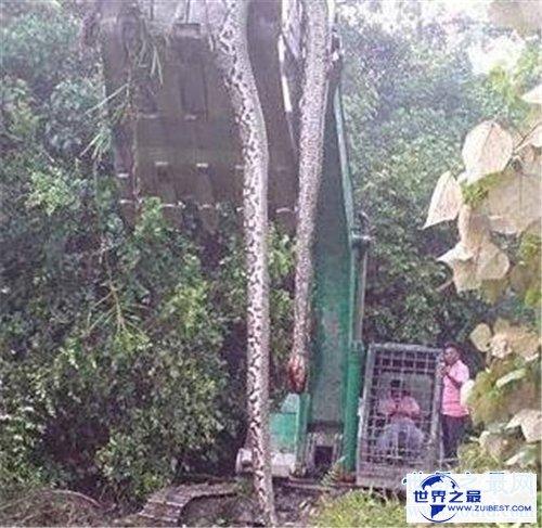 【图】桂平挖蛇事情回忆 4米长白蛇被雷劈死