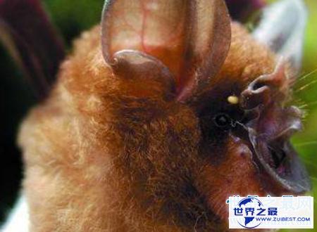 【图】中华菊花蝠诡异的始作俑者令人难以置信