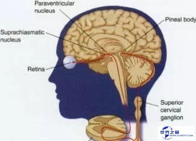 视网膜和大脑