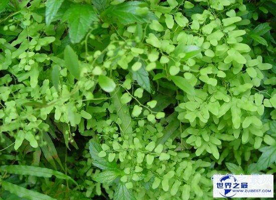 【图】海金沙的效用与作用 清热解毒药用价值十分高