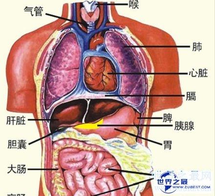 【图】人体器官散布图 让你明晰看到人体五脏六腑!