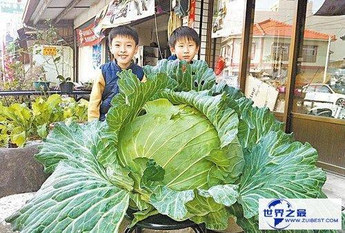 【图】世界上最大的卷心菜