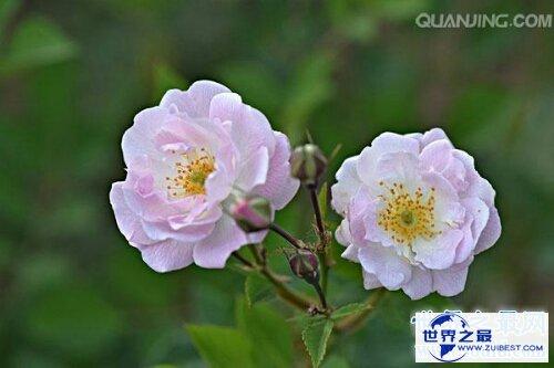 【图】月季花,中国有名的国花,妖艳诱人