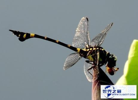【图】世界上最快的昆虫