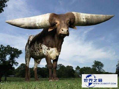 【图】世界上最大的牛角
