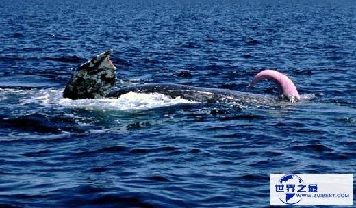 【图】世界上最大的动物阴茎