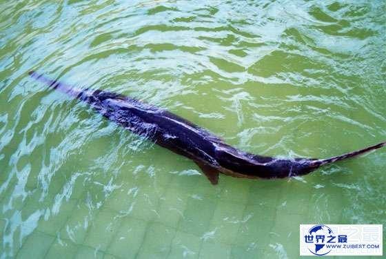 【图】世界上最长的咸水鱼